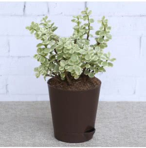 Crassula Variegated Mini Plant With Self Watering Pot