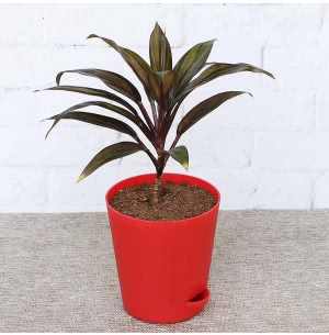 Dracaena Red Choco Plant With Self Watering Pot