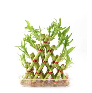 Lucky Bamboo Plant - 4 Layer Pyramid Shaped