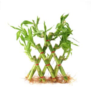 Lucky Bamboo Plant - 3 Layer Pyramid Shaped