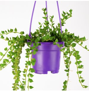 Millionaire Heart Green Plant with Voilet Color Hanging Pot