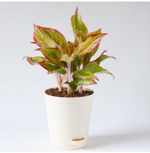 Aglaonema Red Plant With Self Watering Pot - Medium