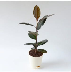 Rubber Plant With Self Watering Pot