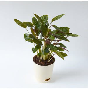 Calathea Setosa Plant With Self Watering Pot