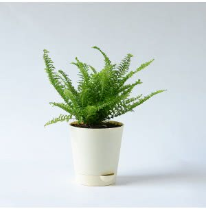 Fern Morpankhi Plant With Self Watering Pot