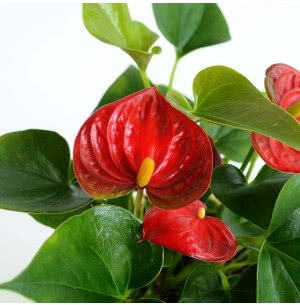 Anthurium Red Mini Plant With Self Watering Pot - Medium