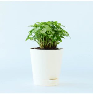 Syngonium Mini Plant With Self Watering Pot