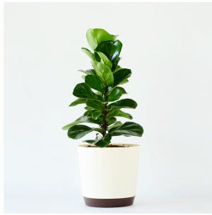 Ficus Lyrata Bambino Plant With 7.5 Inch Self Watering Pot