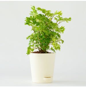 Aralia Golden Plant With Self Watering Pot