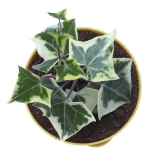 English Ivy Plant With Self Watering Pot