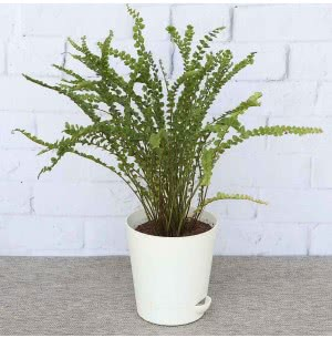 Fern Button With Self Watering Pot