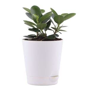 Ficus Microcarpa With Self Watering Pot