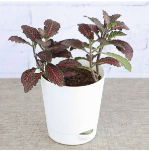 Fittonia Pink Plant With Self Watering Pot