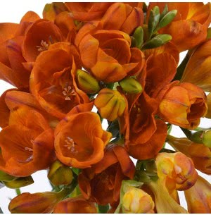 Freesia Double Orange Bulbs