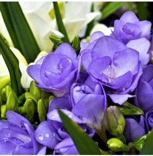 Freesia Double Blue Bulbs