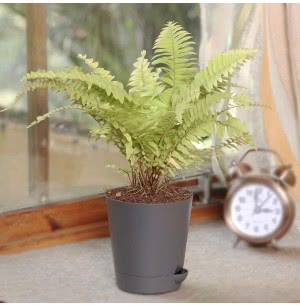Golden Fern Plant With Self Watering Pot