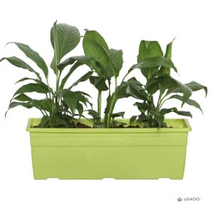 Spathiphyllum Sensation (Peace Lily) Plant With Self Watering Reca Pot - Set of 2