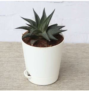 Haworthia Limifolia Plant With Self Watering Pot