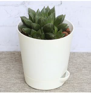Haworthia Maculata Plant With Self Watering Pot