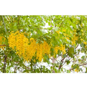 Indian Laburnum Tree Seeds (Cassia Fistula) - 100 g