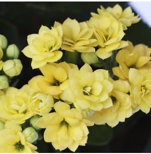 Kalanchoe Yellow Plant