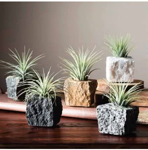 Living Granite Stones With Hardy Tillandsia Air Plant