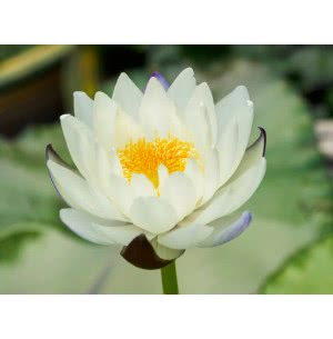 Water lily Flower Bulbs