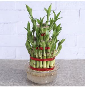 Lucky Bamboo Plant - 3 Layer
