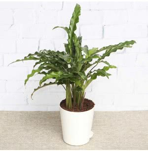 Calathea Rufibarba Plant With Self Watering Pot