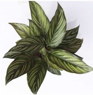 Calathea Ornata Pinstripe Plant With Self Watering Pot
