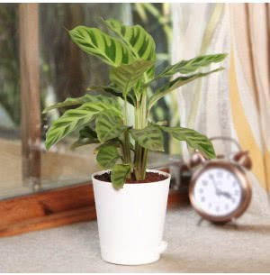 Calathea Zebrina Plant With Self Watering Pot