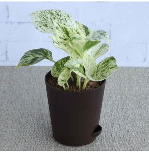 Money Plant Marble With Self Watering Pot