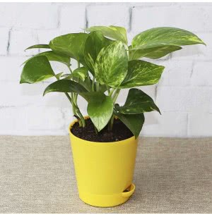 Money Plant Variegated With Self Watering Pot