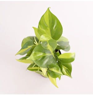 Philodendron Oxycardium Variegated With Self Watering Pot