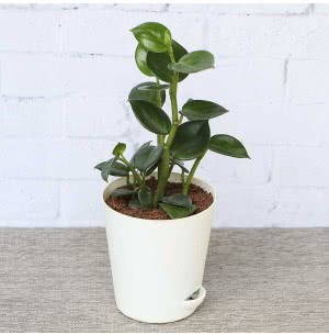 Peperomia Green creeper
