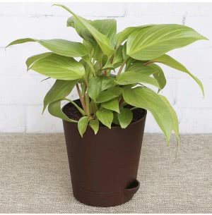 Philodendron Golden Heart With Self Watering Pot