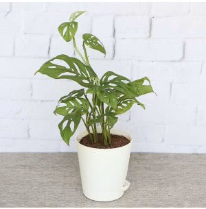 Philodendron Broken Heart With Self Watering Pot
