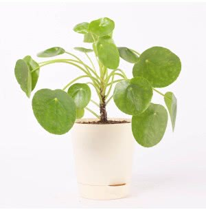 Pilea PeperomioidesPlant With Self Watering Pot - Medium