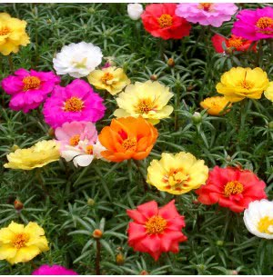 Portulaca Mix (200 Seeds)