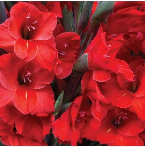 Red Majesty Gladiolus Bulbs