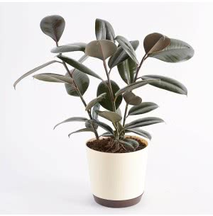 Rubber Plant With 7.5 Inch Self Watering Pot