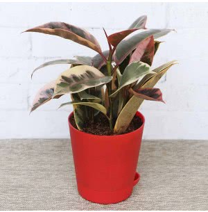 Rubber Plant Variegated With Self Watering Pot