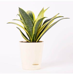 Sansevieria Flame Snake Plant With Self Watering Pot - Medium