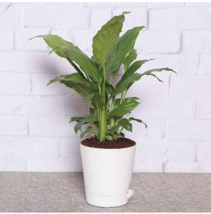 Spathiphyllum Sensation (Peace Lily) With Self Watering Pot