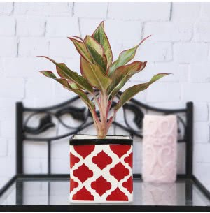 Square Rose Ceramic Pot- 4.5 Inch