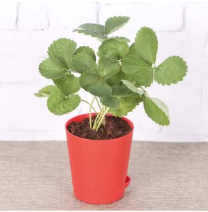 Strawberry Plant With Self Watering Pot