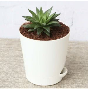 Succulent Haworthia Turgida With Self Watering Pot