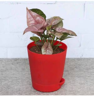 Syngonium Pink Neon With Self Watering Pot