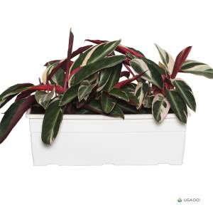 Stromanthe Triostar Plant With Self Watering Reca Pot - Set of 2