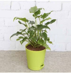 Philodendron Xanadu Green